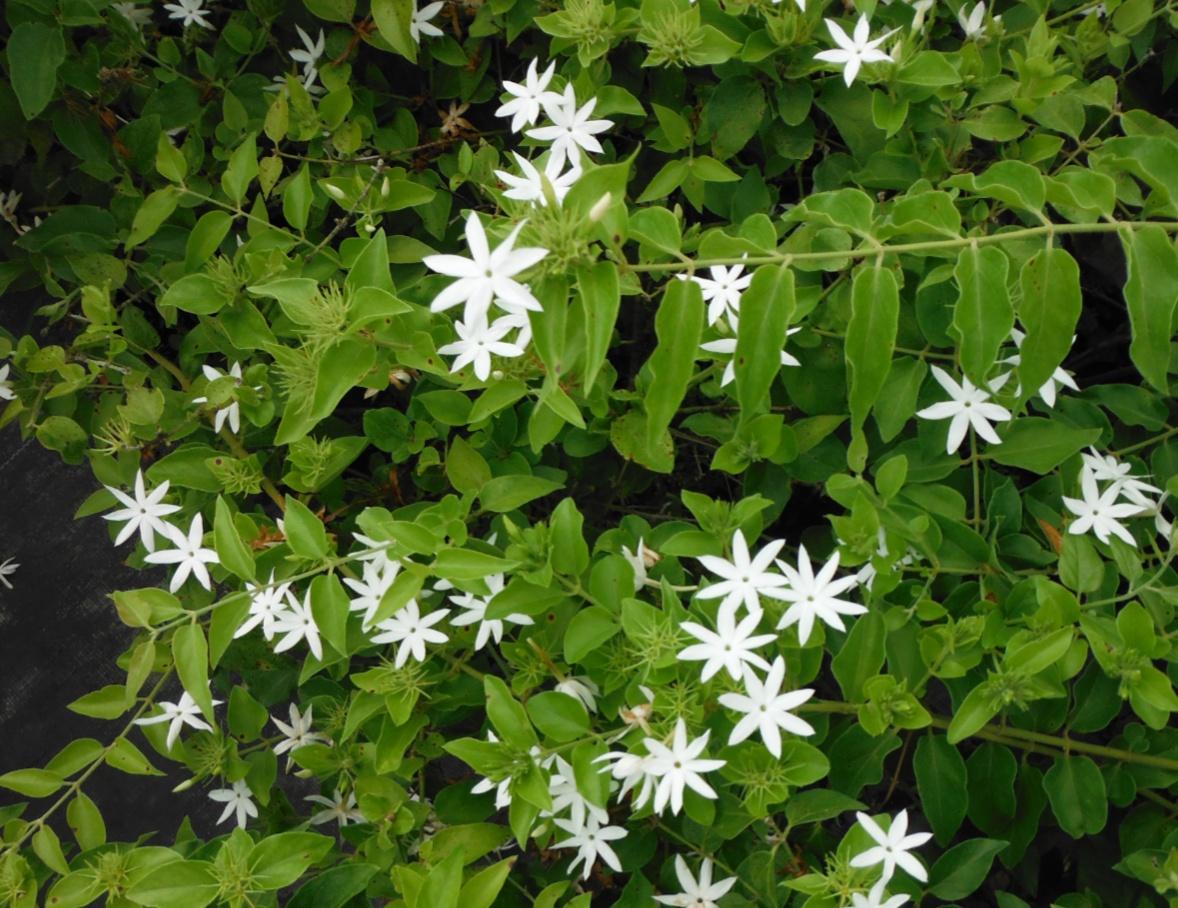 Bopot (Jasminum pubescens)