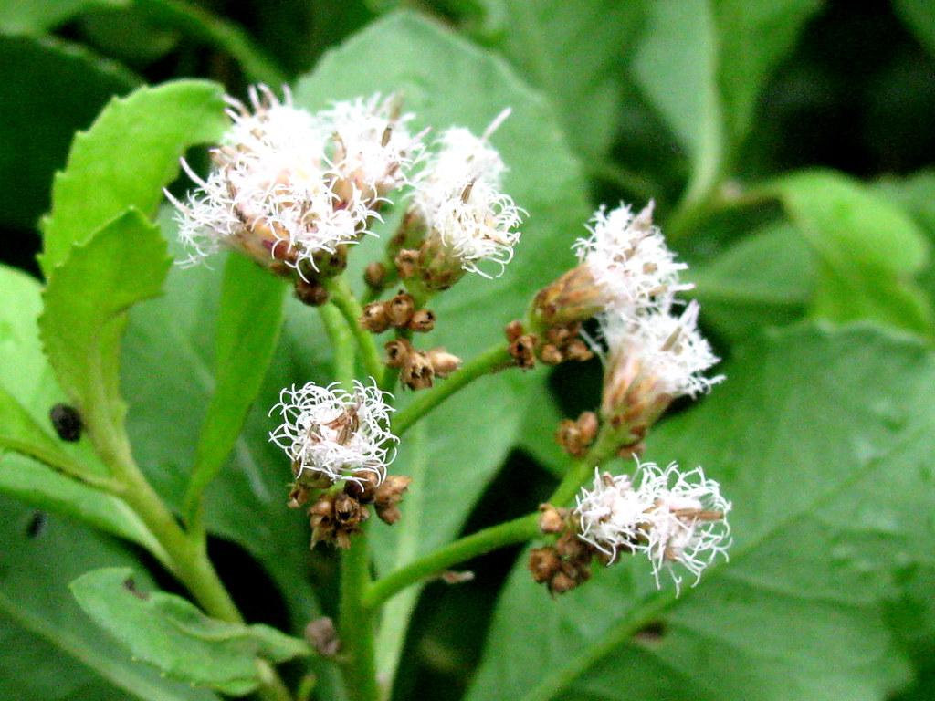 Beluntas (Pluchea indica)
