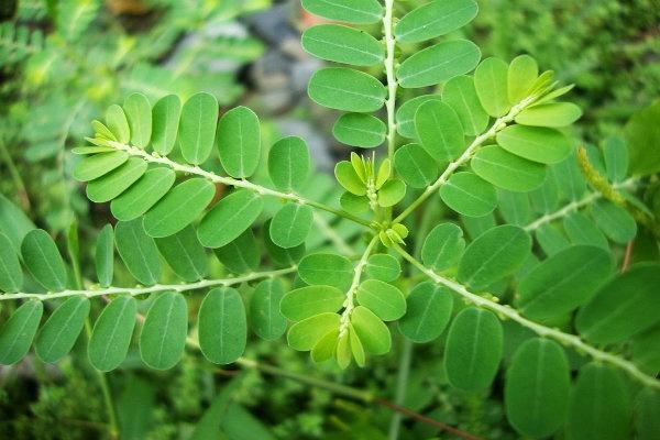Meniran (Phyllanthus urinaria, L.)